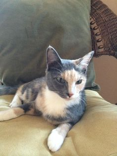Meet Snickers, a Petfinder adoptable Domestic Short Hair-gray Cat | Elbow Lake, MN | If you are seeking a unique looking female, Snickers is the one for you! She lives up to her name...