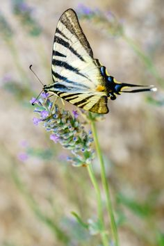 The lavender flower and the yellow butterfly -