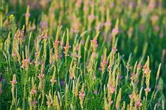 Sainfoin contains condensed tannins, which have been shown to have anthelmintic effects on ruminant parasites.
