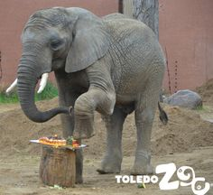 Louie digs into his birthday cake. www.toledozoo.org