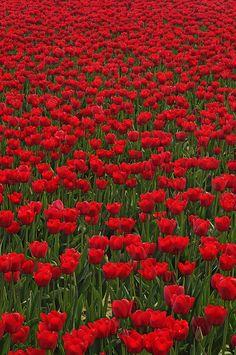Tulip field in bloom at 2012 Skagit Valley Tulip Festival.