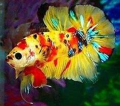 What To Know About Coral Reef Aquariums When shopping for fish, it might be tempting to pick the rare and fancy fish full of colors, and exotic looking shrimp Pretty Fish, Cool Fish, Beautiful Fish, Animals Beautiful, Betta Fish Types, Betta Fish Care, Betta Aquarium, Freshwater Aquarium Fish, Colorful Fish