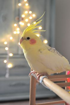 Cockatiel ~ I had two of these birds. They are so smart and loving. Cute Birds, Pretty Birds, Love Birds Pet, Best Pet Birds, Most Beautiful Birds, Animals Beautiful, Exotic Birds, Colorful Birds, Animals And Pets