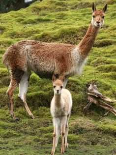 vicuña--from the mountainous regions of south america; the smallest members of the camel family.