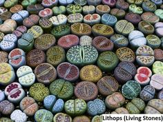 Lithops, also known as 'Living Stones' or 'Flowering Stones', are beautiful succulent plants that have evolved to avoid being eaten by grazing animals by blending in with the stones in their natural environment. Succulent Species, Succulent Seeds, Succulent Planter Diy, Succulent Care, Succulent Arrangements, Growing Succulents, Cacti And Succulents, Planting Succulents, Flowering Succulents