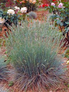 Elija Blue Fescue: Low-Maintenance Plants for Easy Landscaping: This ornamental grass has blue-gray foliage and blue-green flowers.   Evergreen ornamental grass with blue-gray foliage and blue-green flowers.     Plant in full sun for best color.  Plant in moist to dry, well-drained soil.     Height: 8-12 inches/ Width: 8-12 inches    Hardy in zones 4-7 (8).