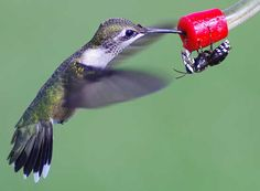 California judge just ruled that abstinence is not sex education--hummingbird and bee at bird feeder