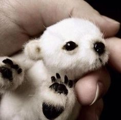 Two days old polarbear.