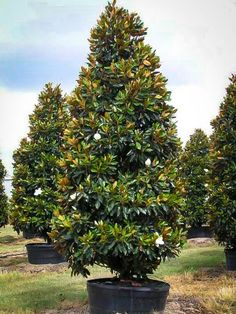 Little Gem Southern Magnolia - Garden Planning 2020 Magnolia Trees, Evergreen Magnolia, Magnolia Flower, Southern Landscaping, Landscaping Plants, Landscaping Ideas, Small Front Yard Landscaping, Herbs, Plants