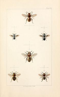 British bees :. London :L. Reeve & Co.,1866.. biodiversitylibrary.org/page/1187676