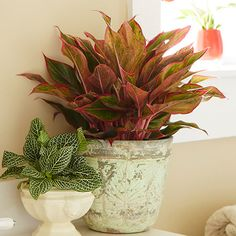 Red aglaonema is one of the easiest houseplants to grow --- and it's super colorful, too! #costafarms