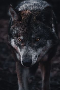 Best 100+ Wolf Pictures [HD] | Download Free Images on Unsplash Wolf Images, Wolf Photos, Wolf Pictures, Hd Photos, Wolf Black And White, Wolf Photography, Close Up Photography, Wolf Face, Wolf Stuff