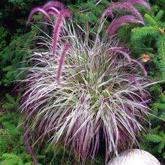 пеннисетум и другие декоративные травы