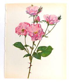 Vintage Pink Roses Picture, Botanical Print, Else Poulsen Rose, Vintage Rose Art on Etsy, £6.50