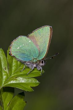 The Green Hairstreak (Callophrys rubi) .The plump caterpillar of this butterfly grows to 1.5 cm in length, and is flattened at each end. It is green in colour, with a brown head, has a dark line passing along the back and rows of diagonal yellowish-white markings.