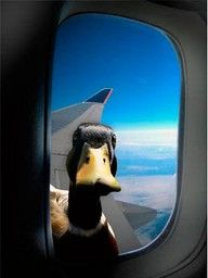 Too funny, to look out your window of an airplane and see a duck looking in at you!