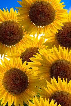 Sunflowers near Avignon, Provence, France