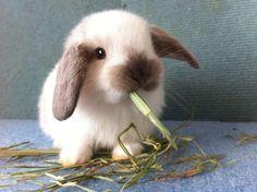 Mini Lop Bunnies, Holland Lop Bunnies, Dwarf Bunnies, Baby Bunnies, Cute Bunny, Bunny Rabbits, Fluffy Animals, Animals And Pets, Indoor Rabbit