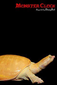 """Indo-Gangetic Flapshell Turtle""""Albino"""""""