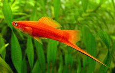 red swordtail-I have 3 pairs (males and females) of these in my 55 gallon tank…