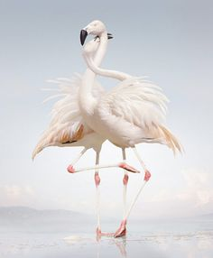 two flamingos intertwined