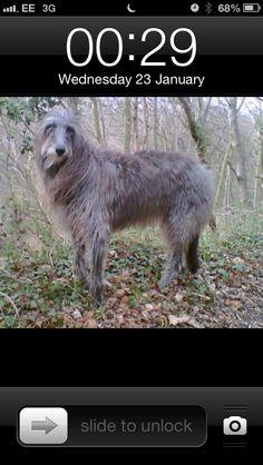 Skye, my Scottish deerhound