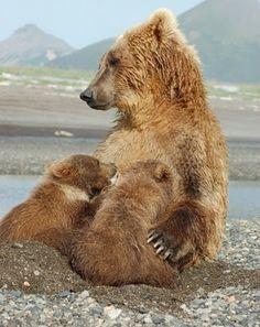 Grizzly bear nursing  Hallo Bay, Katmai National Park, Alaska  from grizzlybay.org