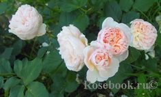 Alexandrine English Roses, Yard, Plants, Patio, Plant, Courtyards, Garden, Planets, Court Yard