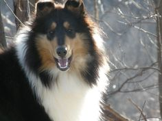 My first dog was a tricolor collie like this. We got her when I was nine and she lived for 13 years. Made me a dog lover for life.