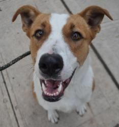 Jerry is an adoptable Hound Dog in Ozone Park, NY. Jerry is a 1 year old Hound/Dane mix that was rescued from a kill shelter down south. He weighs at 60 lbs and is really good with dogs. He has a grea...