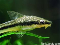 Otocinclus - love these catfish. Perfect for small tanks, they don't grow past two inches.
