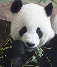 Giant panda cutest animal in the world