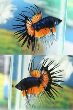 Summary: Betta Fish also known as Siamese fighting fish; Mekong basin in Southeast Asia is the home of Betta Fish and is considered to be one of the best aquarium fishes. Betta Fish Types, Betta Fish Care, Colorful Fish, Tropical Fish, Freshwater Aquarium, Aquarium Fish, Beautiful Fish, Animals Beautiful, Salt Water Fish