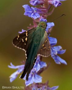 Long-tailed Skipper feeding on one of the blue loelias in Cades Cove, Great Smoky National Park, Photo by Brian Shults at