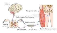Illustration about Control of muscle showing nerve paths from the brain through the spinal cord and peripheral nerves. Illustration of peripheral, muscle, ganglion - 24862462 Peripheral Nerve, Peripheral Neuropathy, Sciatic Nerve, Gastrointestinal Disease, Motor Neuron, Neuropathic Pain, Restless Leg Syndrome, Thyroid Disease, Biology