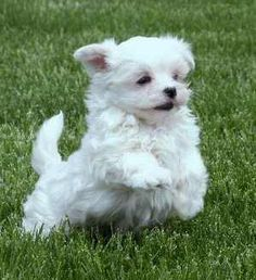 I want a Maltese puppy badly.