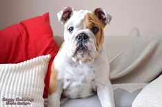 The major breeds of bulldogs are English bulldog, American bulldog, and French bulldog. The bulldog has a broad shoulder which matches with the head. Bulldog Drawing, Bulldog Tattoo, English Bulldog Care, British Bulldog, Rescue Puppies, Bulldog Puppies, Puppies Puppies, Blue Fawn French Bulldog, Every Dog Breed