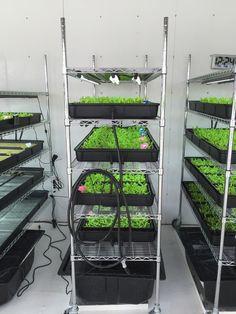 Butter Lettuce Seedlings