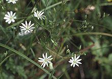 Gresstjerneblom, Stellaria graminea