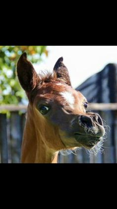Proud Arabian Foal