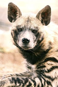 ⋆ Spotted hyenas are famed scavengers and often dine on the leftovers of other predators. But these hardy beasts are also skilled hunters that will take down wildebeest or antelope. ⋆