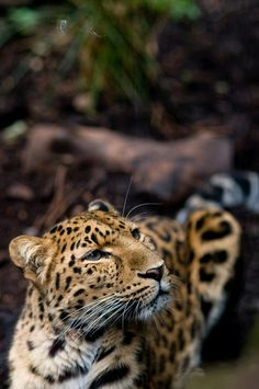 tigersandcompany:    Amur leopard (by Tim Breeze)