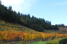 Autumn colors at  Pine Ridge Vineyards