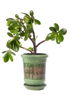 Are Jade Plants Poisonous To Cats? Causes, Symptoms & Treatments. Jade Plants, Real Plants, Houseplants Safe For Cats, Common House Plants, Lucky Plant, Money Plant, Crassula Ovata, Money Trees, Container Plants