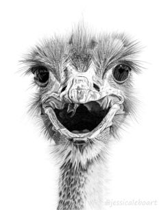 Graphite pencil drawing of a goofy ostrich.