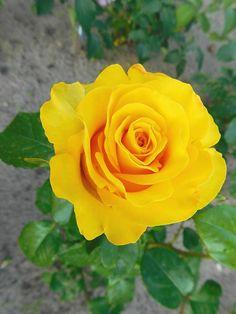 Роза чайно-гибридная Папилон (Papillon)