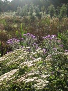 Meadow for stormwater treatment
