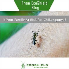 Is Your Family At Risk For Chikungunya? #Mosquitoes #PestControl