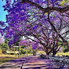 The University of Queensland is rolling out the purple carpet for Barack Obama's visit on Saturday. Purple Carpet, Australian Plants, Cool Photos, Amazing Photos, Brisbane Australia, World Cities, Travel Bugs, Barack Obama, So Little Time
