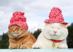 SHIRO and CHATORA wearing a new hats.
